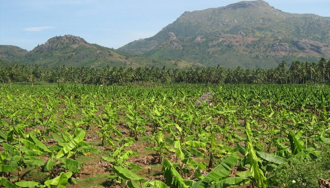 Plantain Plantation Business in Nigeria