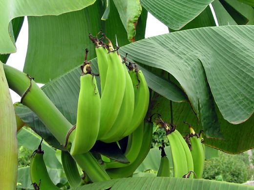 How Plantain Chips Producers Can Overcome Plantain Scarcity Period